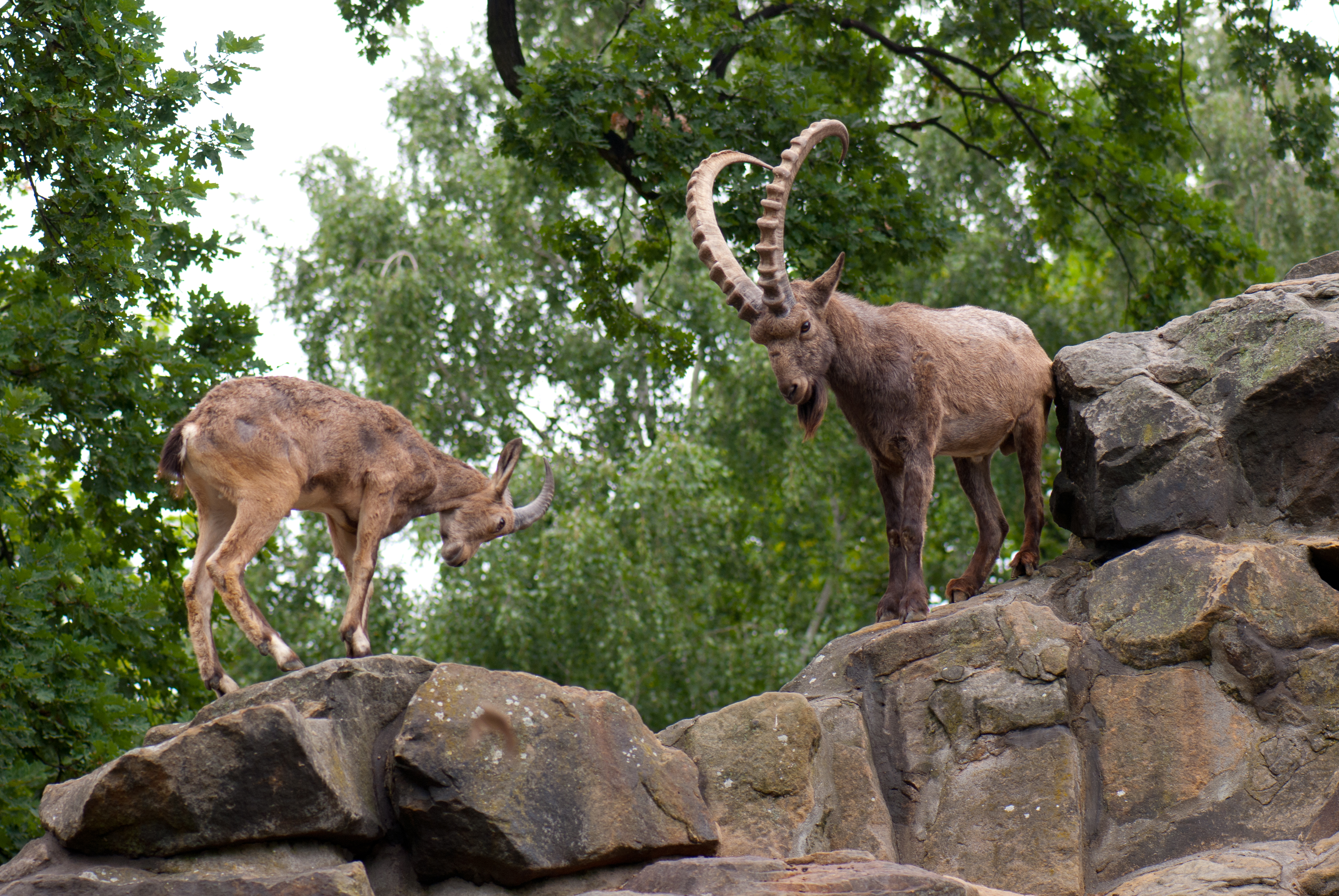 American national in Pakistan hunts highest-rated rare Astore markhor