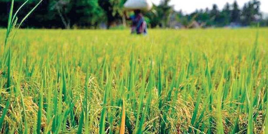 Chhattisgarh procures record paddy this kharif season