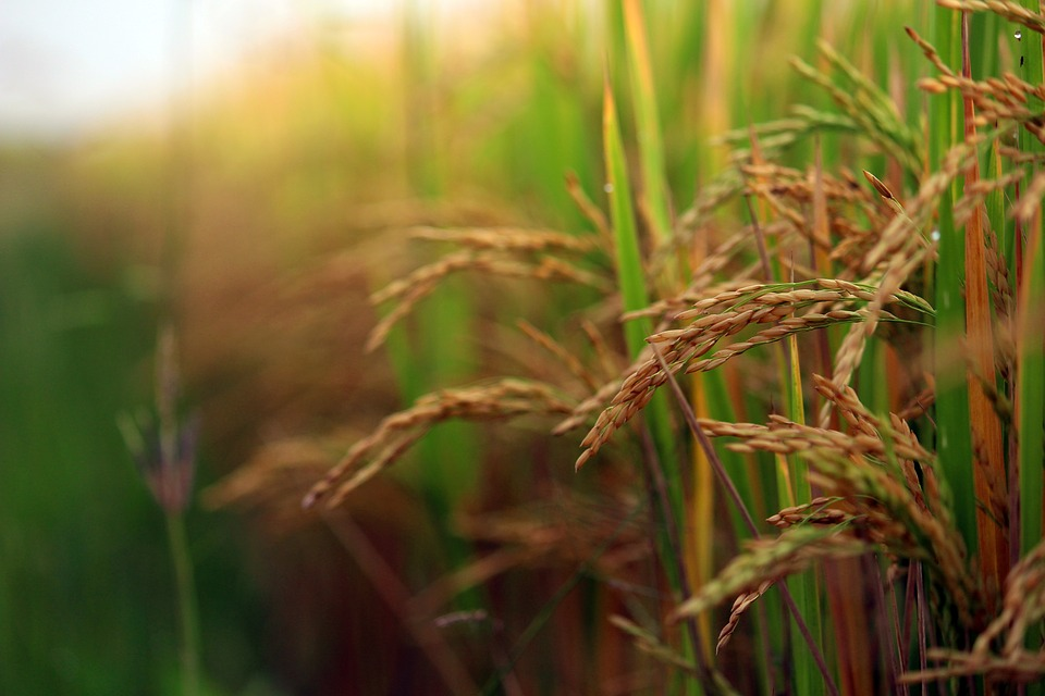 Odisha seeks hike in paddy MSP to Rs 2,930 per quintal
