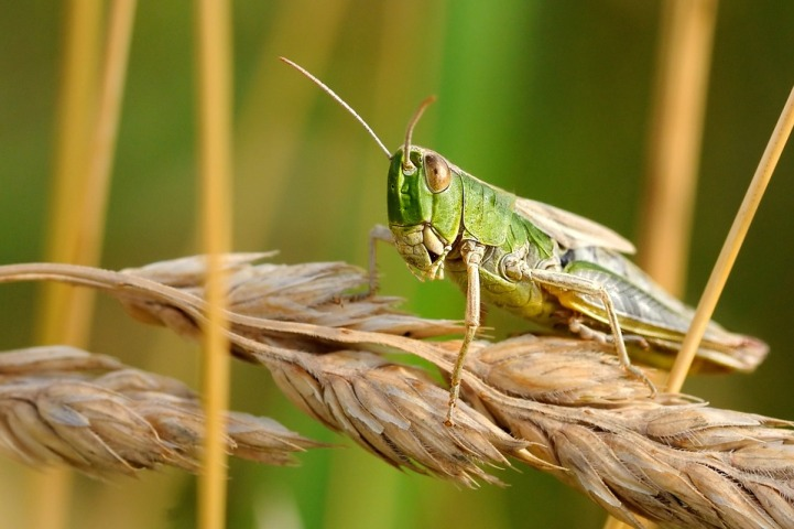 FAO welcomes €8m donations from EU to control desert locust upsurge