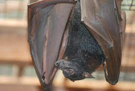 Science News Roundup: Good friends and fresh blood: the social life of a vampire bat; Vaccinated pregnant women pass protective antibodies to babies