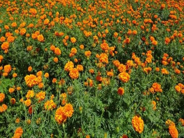 Carpet made using Banglore's marigold flower enters Guinness Book of World Records