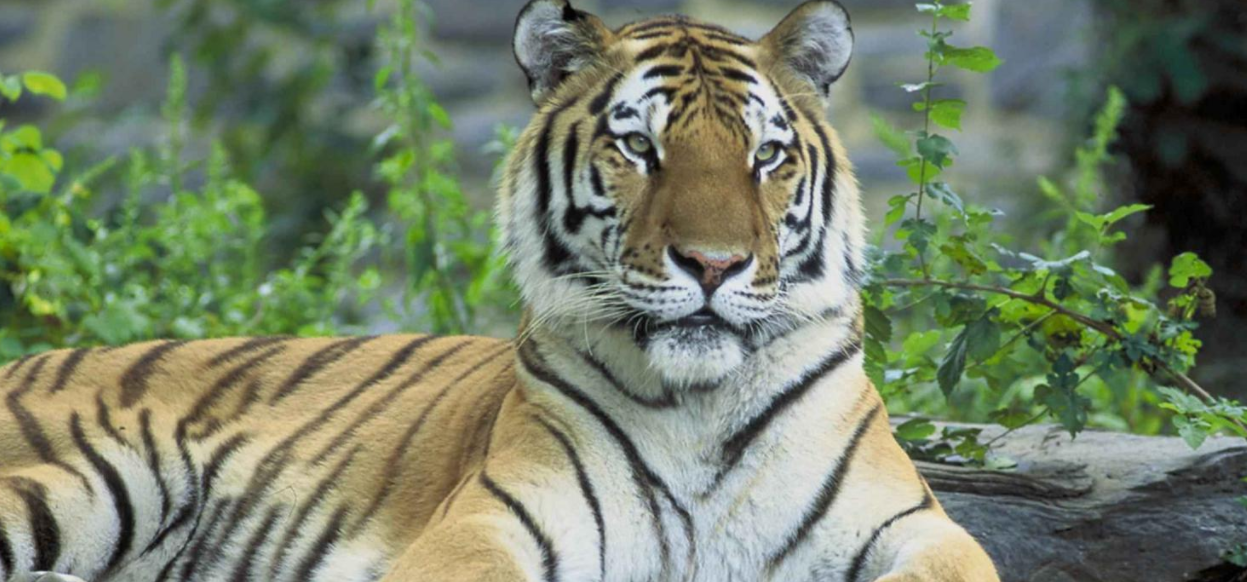 Wild Siberian tiger caught after attacking Chinese villager