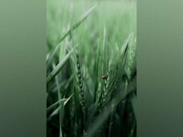 Researchers protect crops from insects using 'smell of fear'