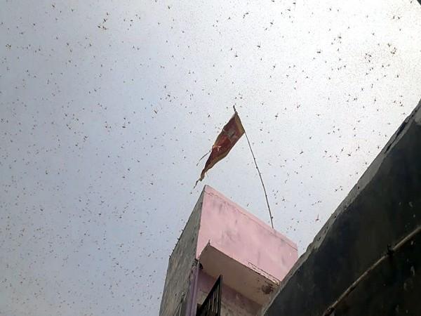 Swarm of locusts reaches Nepal
