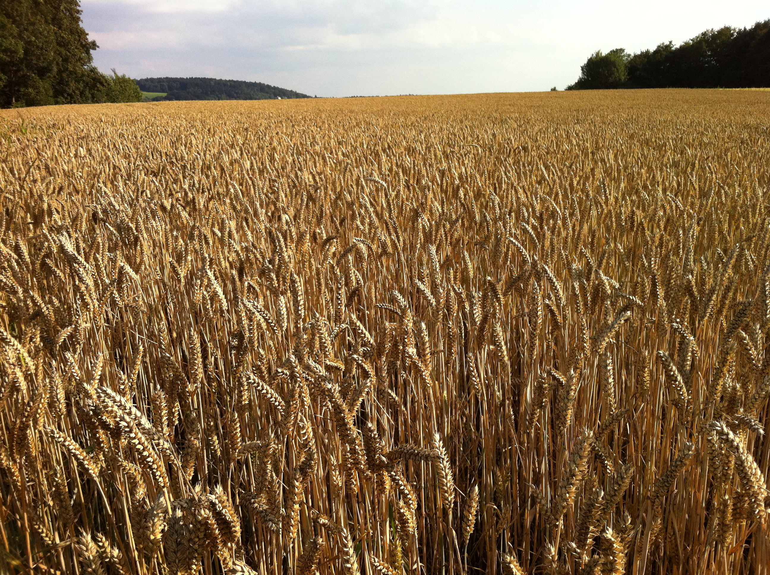 Droughts will affect 60 per cent of wheat-producing areas by 2100: Study