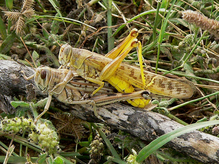 Locust attack: China to help Pakistan with effective pest control system
