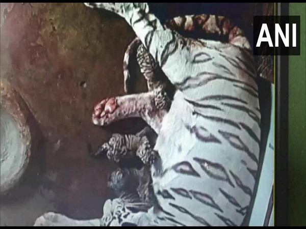 White tigress Bijaya gives birth to three cubs in Odisha's Nandankanan