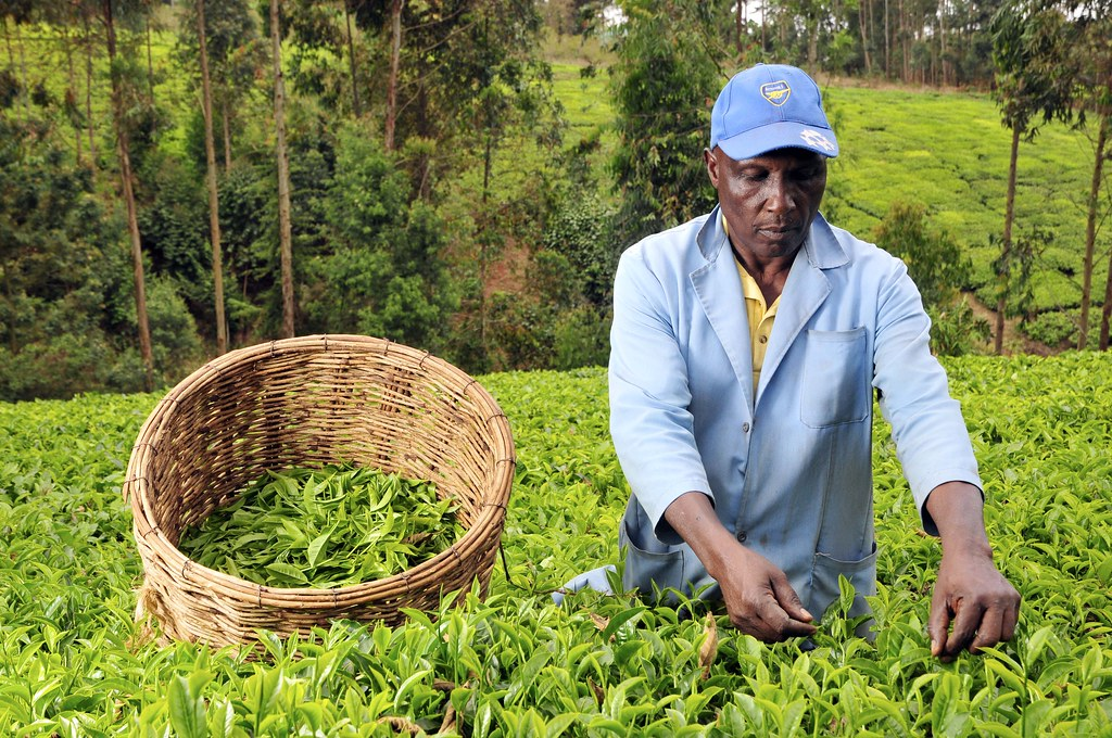 Kenyan Unilever tea workers escalate fight for reparations to U.N.