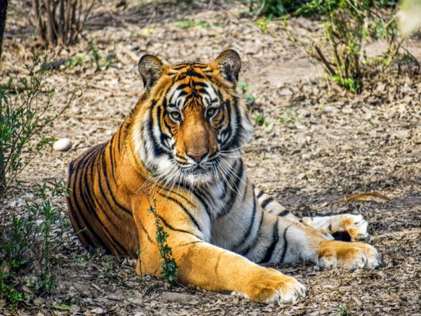 Tribal killed in suspected tiger attack in Telangana