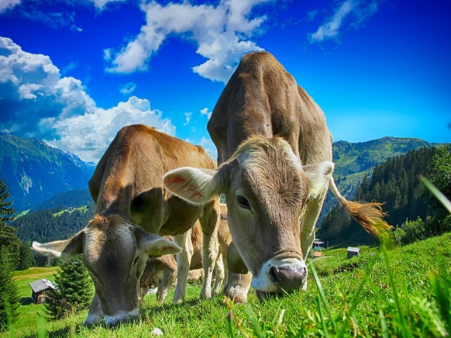 Haryana to insure 10 lakh head of cattle